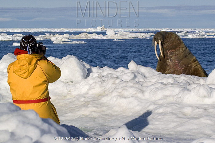 Tourist taking photograph of Walrus (Odobenus rosmarus) Igloolik, Foxe Basin, Nunavut, Arctic Canada  -  Mark Carwardine/ npl
