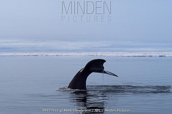 Bowhead, Greenland right, Arctic whale (Balaena mysticetus) fluking Igloolik, Foxe Basin, Nunavut, Arctic Canada  -  Mark Carwardine/ npl