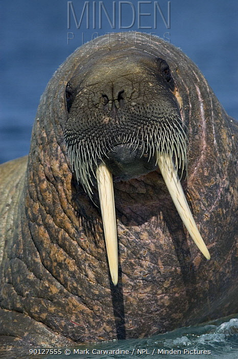Walrus (Odobenus rosmarus), Igloolik, Foxe Basin, Nunavut, Arctic Canada  -  Mark Carwardine/ npl