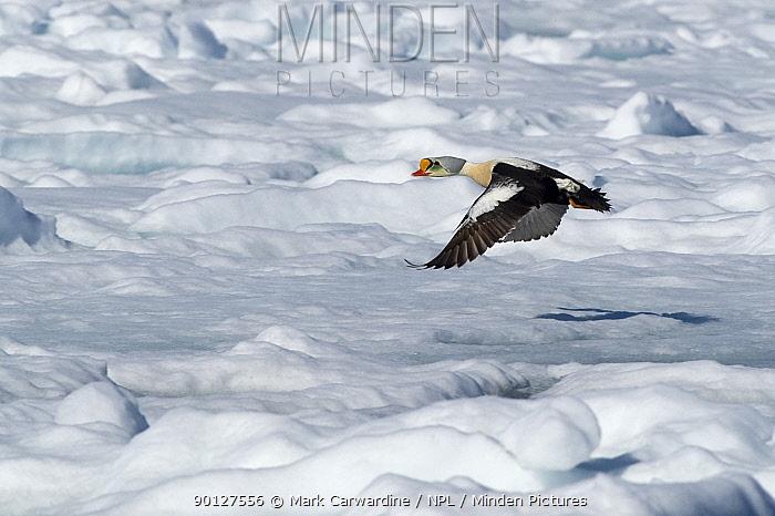 Adult male King eider duck (Somateria spectabilis) flying over ice, Igloolik, Foxe Basin, Nunavut, Arctic Canada  -  Mark Carwardine/ npl