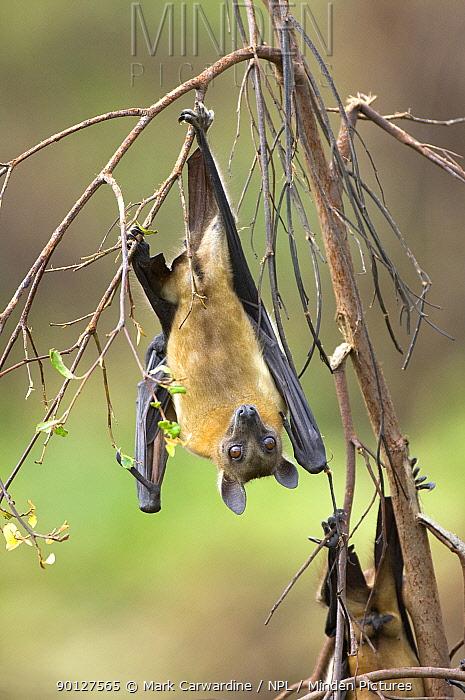 Straw-coloured fruit bats (Eidolon helvum) roosting, Kasanka National Park, Zambia, Africa  -  Mark Carwardine/ npl