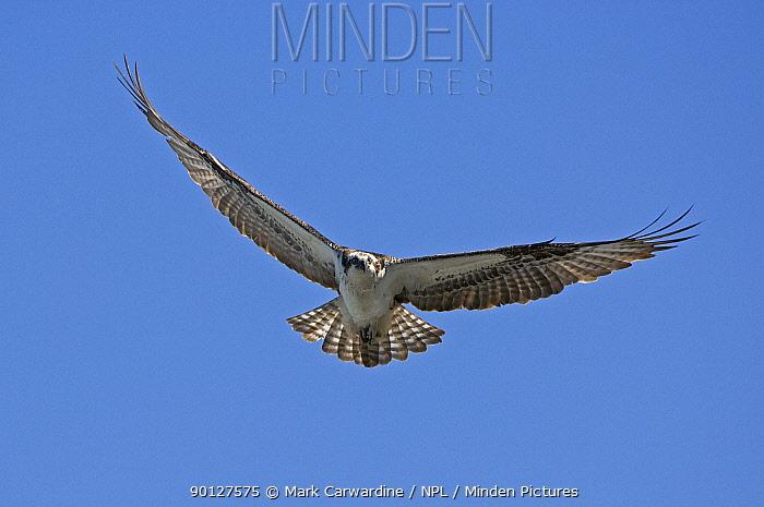 Osprey (Pandion haliaetus), West San Benitos Island, Baja California, Mexico  -  Mark Carwardine/ npl