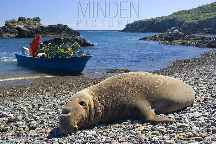 Northern elephant seal (Mirounga angustirostris), lying on beach with lobster fisherman on boat in background, West San Benitos Island, Baja California, Mexico  -  Mark Carwardine/ npl
