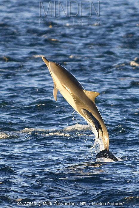 Common dolphin (Delphinus sp) breaching with Remora, Whalesucker fish attached, Baja California, Sea of Cortez (Gulf of California), Mexico  -  Mark Carwardine/ npl