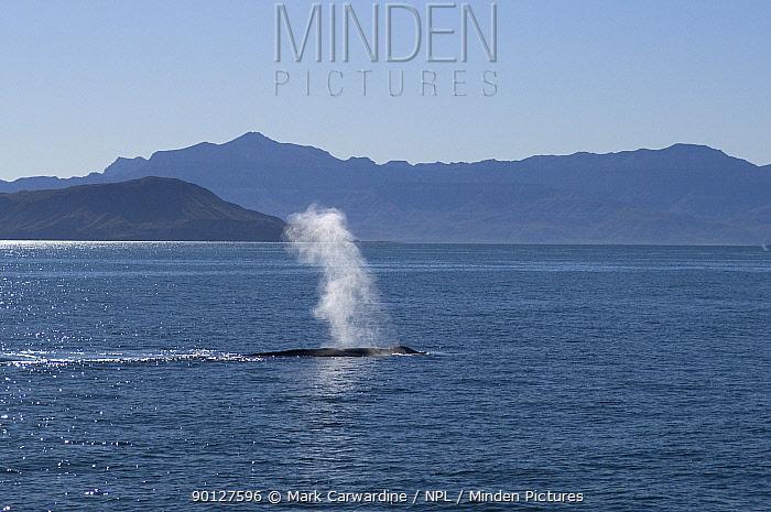 Blue whale (Balaenoptera musculus) blowing, Baja California, Sea of Cortez (Gulf of California), Mexico, Endangered species  -  Mark Carwardine/ npl