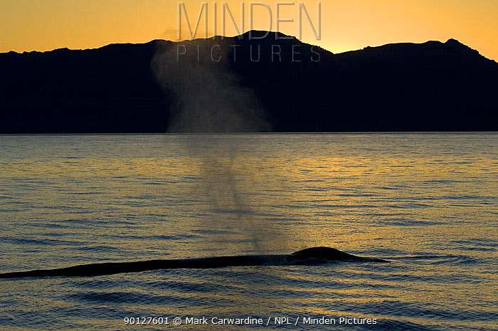 Blue whale (Balaenoptera musculus) blowing at sunset, Baja California, Sea of Cortez (Gulf of California), Mexico, Endangered species  -  Mark Carwardine/ npl