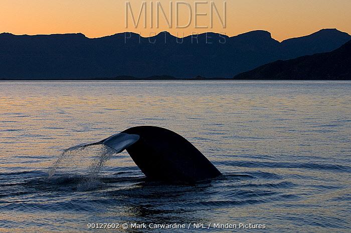 Blue whale (Balaenoptera musculus) fluking at sunset, Baja California, Sea of Cortez (Gulf of California), Mexico, Endangered species  -  Mark Carwardine/ npl