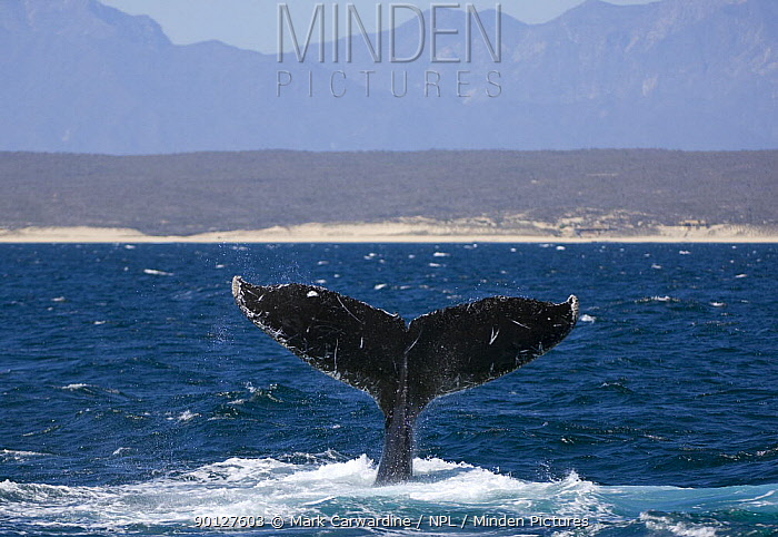 Humpback whale (Megaptera novaeangliae) lobtailing, Baja California, Sea of Cortez (Gulf of California), Mexico, Threatened or endangered species (Vulnerable)  -  Mark Carwardine/ npl