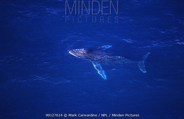 Aerial view of Humpback whale (Megaptera novaeangliae), Sea of Cortez (Gulf of California), Baja California, Mexico (Pacific coast), Endangered species  -  Mark Carwardine/ npl
