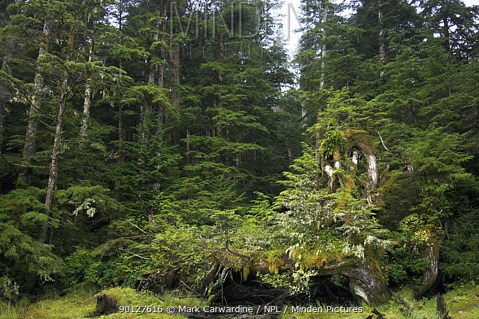 Part of the Great Bear Rainforest, otherwise known as the Raincoast, Pacific temperate rainforest, Cameron Cove, Princess Royal Island, British Columbia, western Canada  -  Mark Carwardine/ npl