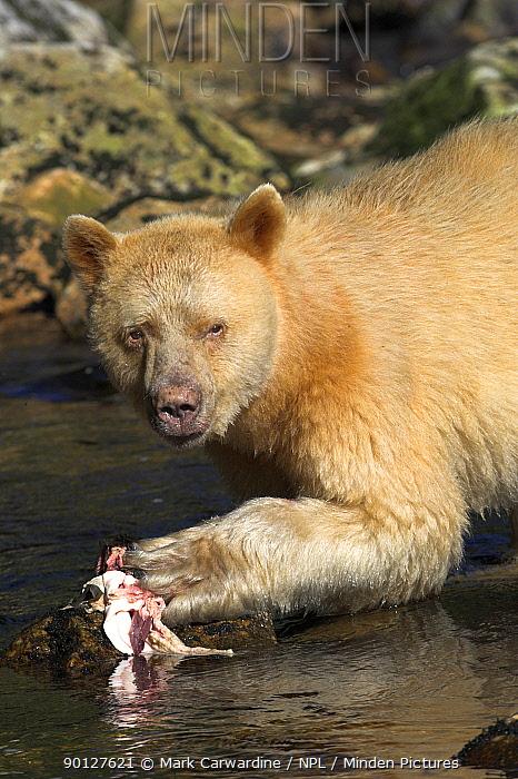 Spirit, Kermode bear (Ursus americanus kermodei) white phase of American black bear, eating salmon, Princess Royal Island, the Great Bear Rainforest, British Columbia, western Canada  -  Mark Carwardine/ npl