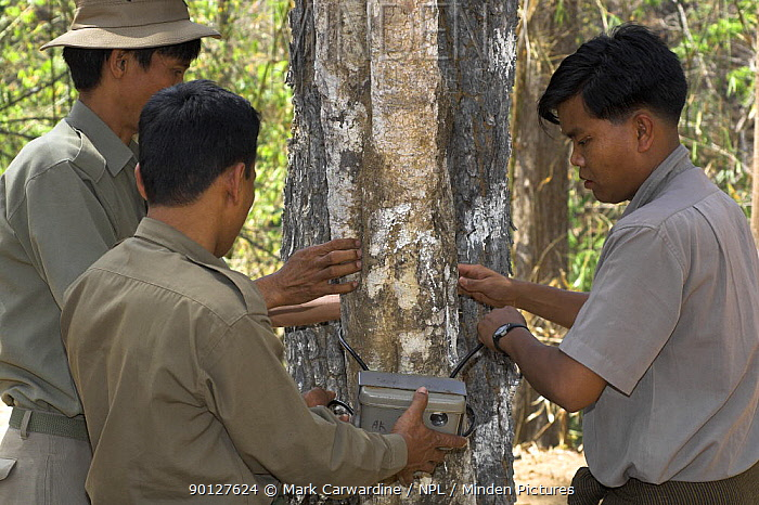 Wardens fit a camera to tree in order to track animal movements, Alaungdaw Kathapa National Park, north-west Burma (Myanmar)  -  Mark Carwardine/ npl