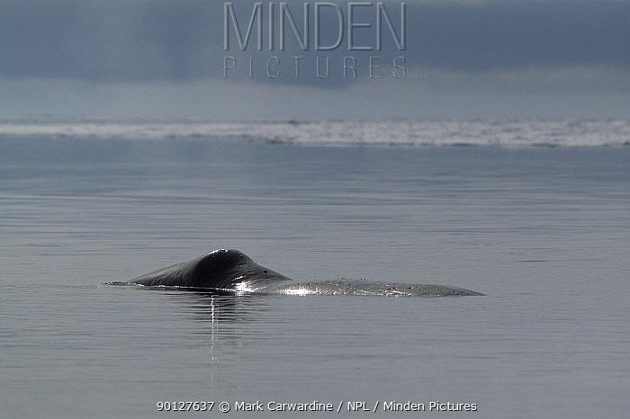 Bowhead, Greenland right, Arctic whale (Balaena mysticeus) surfacing, showing distinctive profile, Igloolik, Foxe Basin, Nunavut, Arctic Canada  -  Mark Carwardine/ npl
