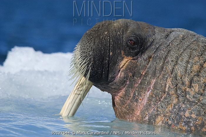Walrus (Odobenus rosmarus) close-up Igloolik, Foxe Basin, Nunavut, Arctic Canada  -  Mark Carwardine/ npl