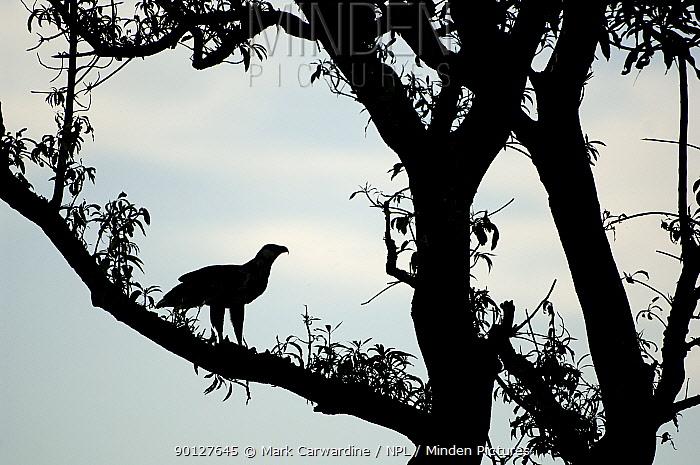 African fish eagle (Haliaeetus vocifer) juvenile, silhouette, perched in tree, Kasanka National Park, Zambia, Africa  -  Mark Carwardine/ npl