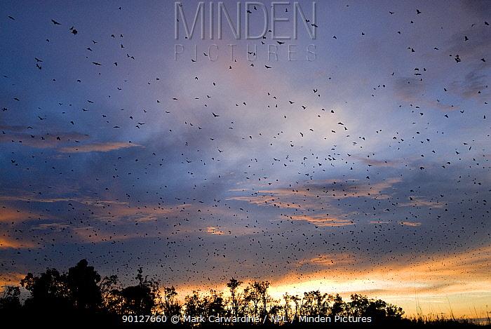 Straw-coloured fruit bats (Eidolon helvum) flying over daytime roost, Kasanka National Park, Zambia, Africa  -  Mark Carwardine/ npl