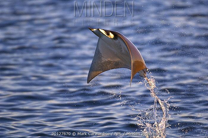 Smoothtail Ray, Mobula (Mobula thurstoni) flying out of the water, Baja California, Sea of Cortez (Gulf of California), Mexico  -  Mark Carwardine/ npl