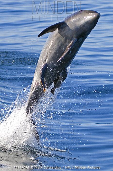 Common bottlenose dolphin (Tursiops truncatus) breaching with two Suckerfish, Remora attached, Baja California, Sea of Cortez (Gulf of California), Mexico  -  Mark Carwardine/ npl