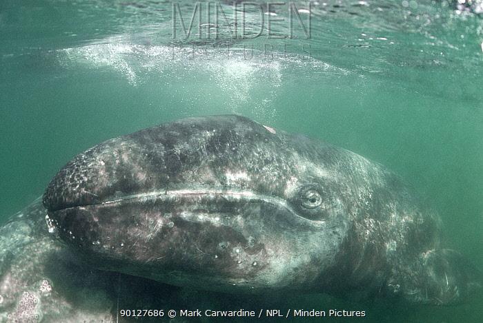 Grey whale (Eschrichtius robustus) calf with mother, San Ignacio Lagoon, Baja California, Mexico  -  Mark Carwardine/ npl