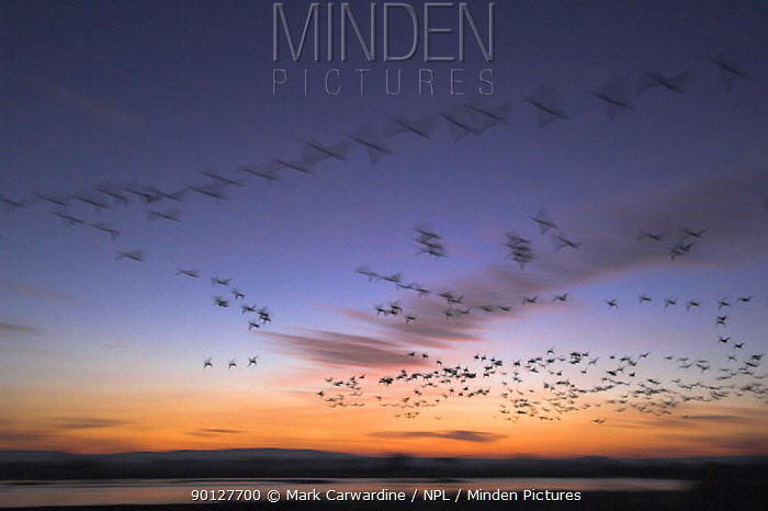 Snow goose (Anser, Chen caerulescens) flock at dawn, Bosque del Apache National Wildlife Refuge, New Mexico, USA  -  Mark Carwardine/ npl