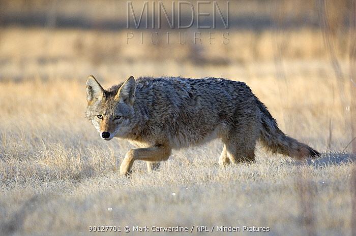 Coyote (Canis latrans) Bosque del Apache National Wildlife Refuge, New Mexico, USA  -  Mark Carwardine/ npl