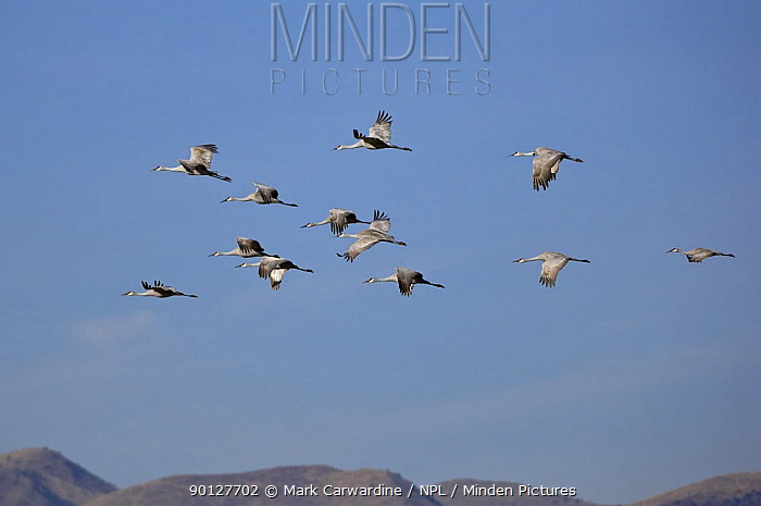 Sandhill cranes (Grus canadensis) flying, Bosque del Apache National Wildlife Refuge, New Mexico, USA  -  Mark Carwardine/ npl