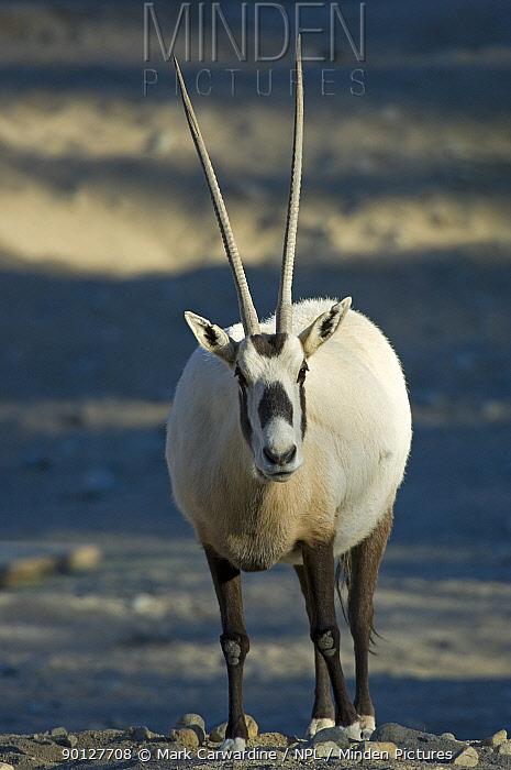 Arabian, White oryx (Oryx leucoryx) Living Desert Zoo, Palm Desert, California, USA, Captive, Endangered or threatened species (Endangered)  -  Mark Carwardine/ npl