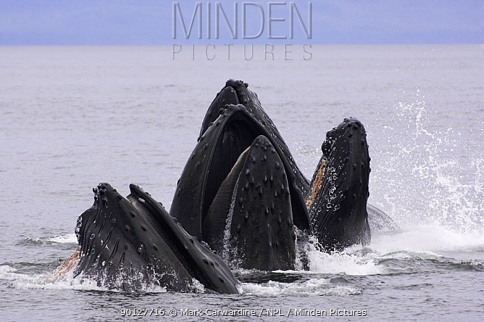 Humpback whales (Megaptera novaeangliae) lunge-feeding for herring (after bubble-netting), Frederick Sound, South East Alaska, USA, Endangered or threatened species (Vulnerable)  -  Mark Carwardine/ npl