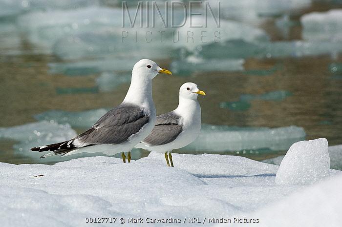 Two Common, Mew gulls (Larus canus) on ice floe, Tracy Arm, South East Alaska, USA  -  Mark Carwardine/ npl