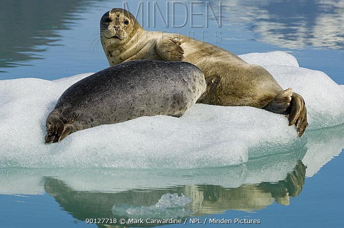Common, Harbour seal (Phoca vitulina) resting on ice floe, Tracy Arm, South East Alaska, USA  -  Mark Carwardine/ npl