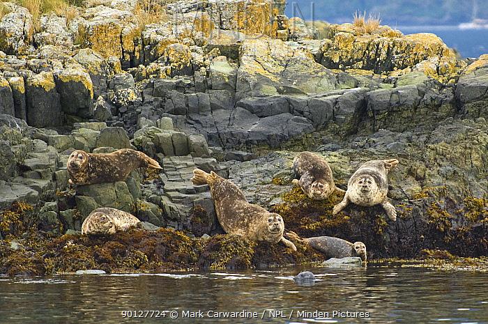 Common, Harbour seals (Phoca vitulina) hauled out on rocks near Princess Royal Island, British Columbia, Canada  -  Mark Carwardine/ npl