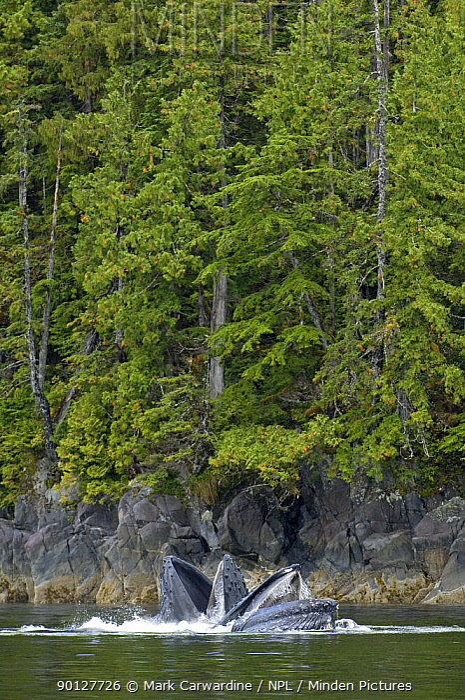 Two Humpback whales (Megaptera novaeangliae) bubble-net feeding very close to shore, Great Bear Rainforest, British Columbia, Canada, Endangered or threatened species (Vulnerable)  -  Mark Carwardine/ npl