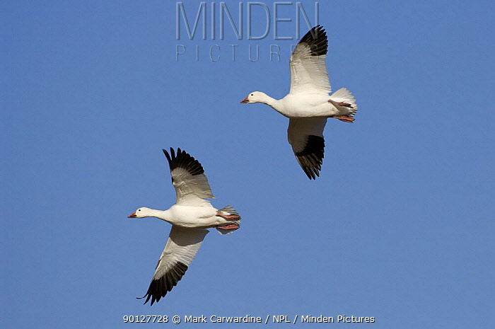 Two Snow geese (Anser, Chen caerulescens) flying, Bosque del Apache National Wildlife Refuge, New Mexico, USA  -  Mark Carwardine/ npl