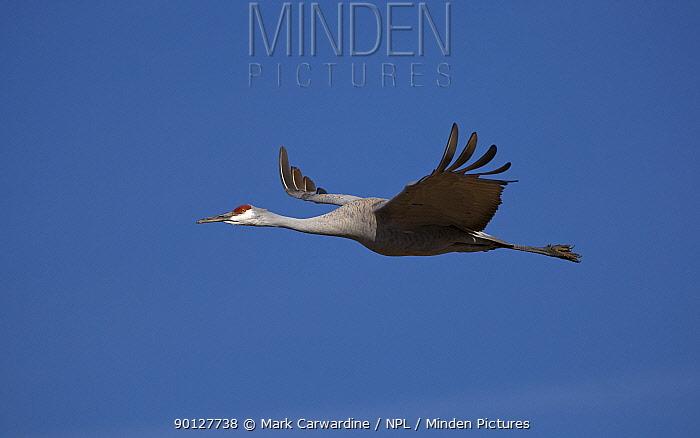Sandhill crane (Grus canadensis) flying, Bosque del Apache National Wildlife Refuge, New Mexico, USA  -  Mark Carwardine/ npl