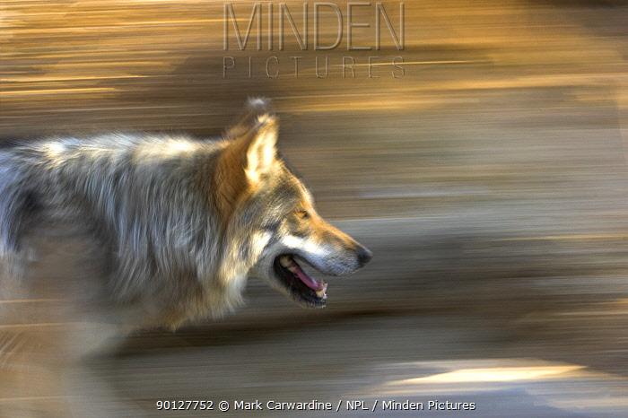 Mexican wolf (Canis lupus baileyi) running, captive, Living Desert Zoo, Palm Desert, California, USA  -  Mark Carwardine/ npl
