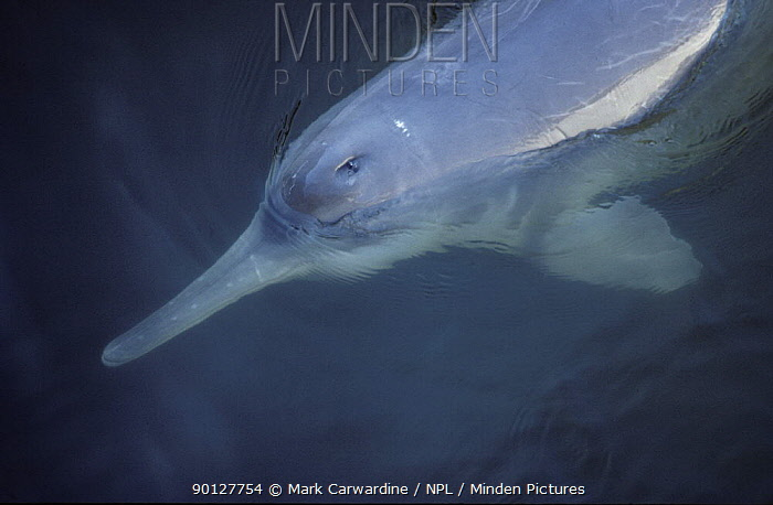 Yangtze, Chinese river dolphin, Beiji (Lipotes vexillifer) Critically endangered, officially declared extinct late 2007 This individual (a male called Qi-Qi) was photographed in captivity in 1988 at the Institute of Hydrobiology, Wuhan, China  -  Mark Carwardine/ npl