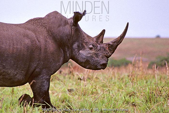 Northern white rhinoceros (Ceratotherium simum cottoni) Garamba NP, Dem Rep Congo 1989  -  Mark Carwardine/ npl