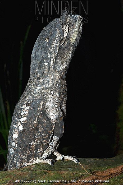Tawny frogmouth (Podargus strigoides) captive, Rainforest Habitat Wildlife Sanctuary, Port Douglas, Queensland, Australia  -  Mark Carwardine/ npl