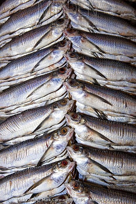 Freshwater fish for sale at Manaus fish market, Amazonia, Brazil  -  Mark Carwardine/ npl
