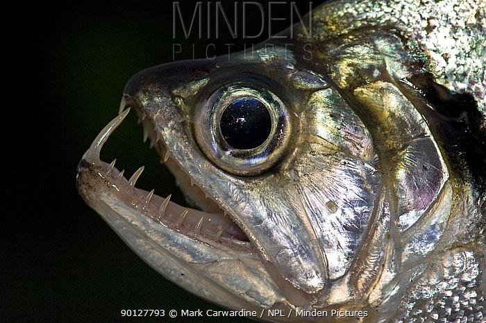 Freshly caught Dogfish (Hydrolycus sp) from the Aruazinho river, Amazonia, Brazil  -  Mark Carwardine/ npl