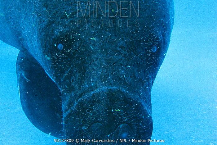 Amazonian manatee (Trichechus inunguis) Endangered, Captive, Instituto Nacional de Pesquisas da Amazonas, Manaus, Brazil  -  Mark Carwardine/ npl