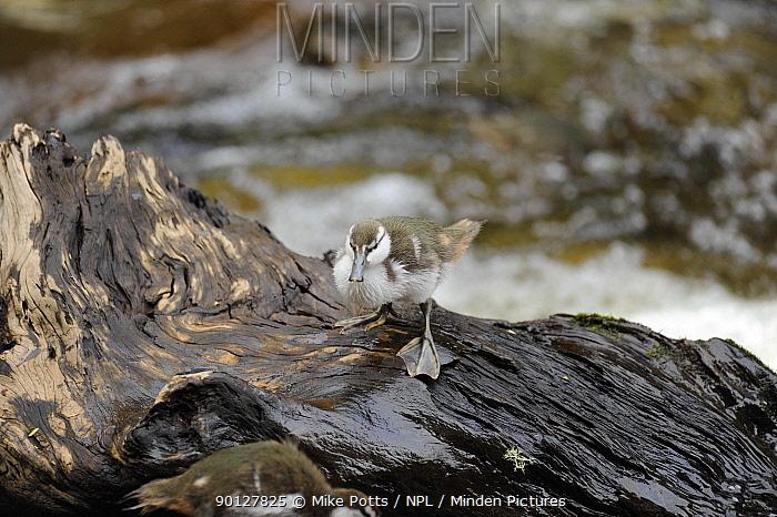 Blue Duck chick (Hymenolaimus melacorhynchos), Kaiwhakauka River, North Island, New Zealand Endangered species  -  Mike Potts/ npl