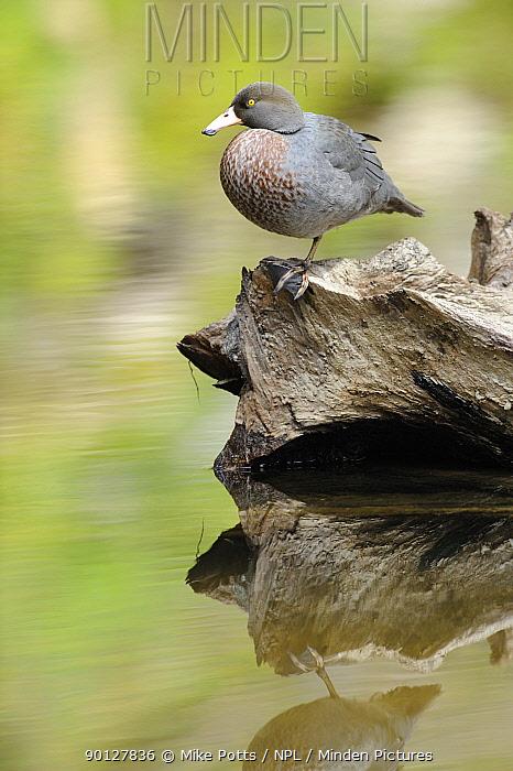 Blue Duck (Hymenolaimus melacorhynchos), Kaiwhakauka River, North Island, New Zealand Endangered species  -  Mike Potts/ npl
