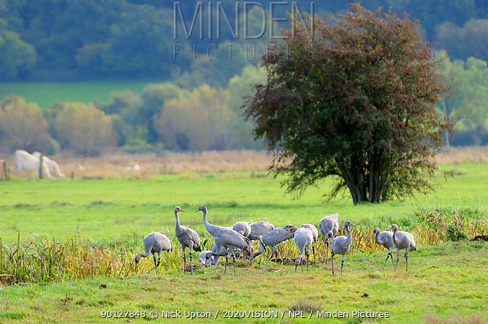 Juvenile Common, Eurasian cranes (Grus grus) recently released by the Great Crane Project onto the Somerset Levels and Moors, foraging in pastureland near a drainage ditch as two birds interact aggresively Somerset, UK, October 2010  -  Nick Upton/ npl