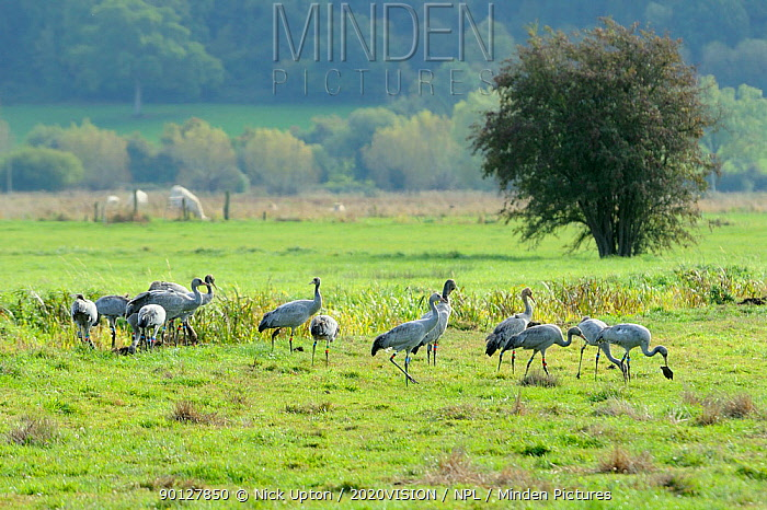 Juvenile Common, Eurasian cranes (Grus grus) recently released by the Great Crane Project onto the Somerset Levels and Moors, foraging in pastureland near a drainage ditch; one turns over an old cow pat Somerset, UK, October 2010  -  Nick Upton/ npl