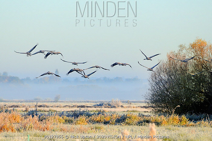 Flock of juvenile Common, Eurasian cranes (Grus grus) recently released by the Great Crane Project onto the Somerset Levels and Moors flying over pastureland on a frosty, misty morning Somerset, UK, October 2010  -  Nick Upton/ npl