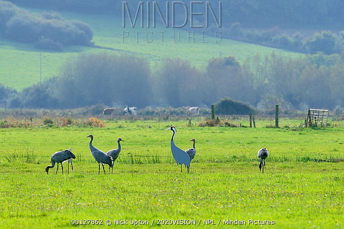 Juvenile Common, Eurasian cranes (Grus grus) recently released by the Great Crane Project onto the Somerset Levels and Moors, feeding alongside cut-out model decoy of adult birds Somerset, UK, October 2010  -  Nick Upton/ npl