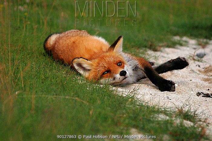 Red fox (Vulpes vulpes) resting on sandy beach, England  -  Paul Hobson/ npl