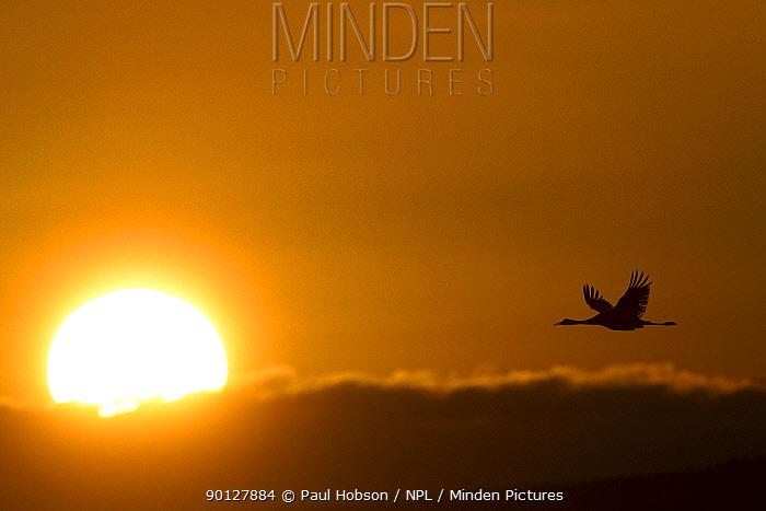 Common crane (Grus grus) in flight against a dawn sky, Lake Hornborga, Sweden April  -  Paul Hobson/ npl