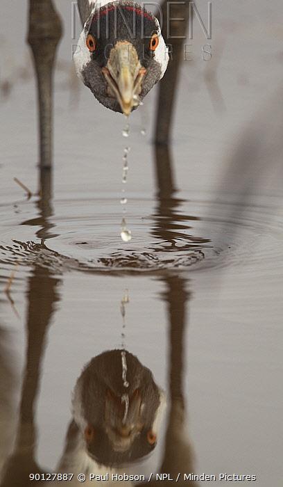 Common crane (Grus grus) drinking, Lake Hornborga, Sweden April  -  Paul Hobson/ npl